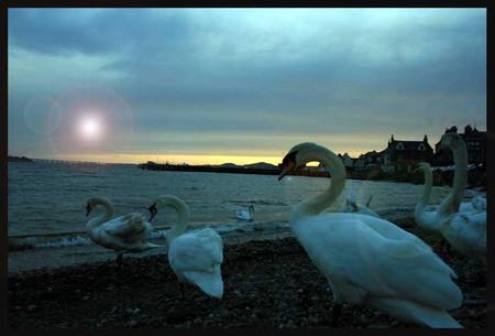 Cisnes seres perfectos