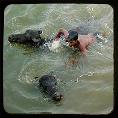 Bathing with water Buffalos por Designldg, Flickr